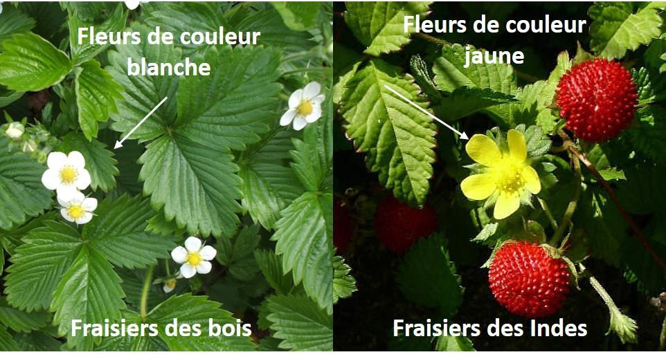 fraise des bois des indes fleurs