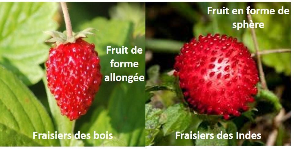 fraise des bois des indes forme