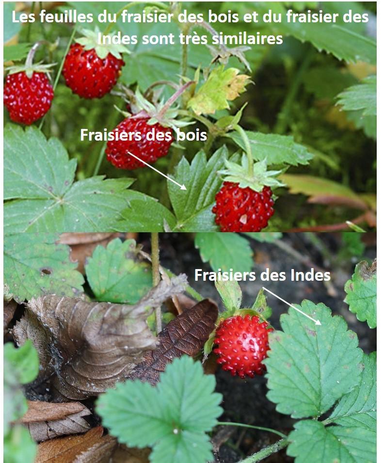 Distinguer fraise des bois toxique / non toxique