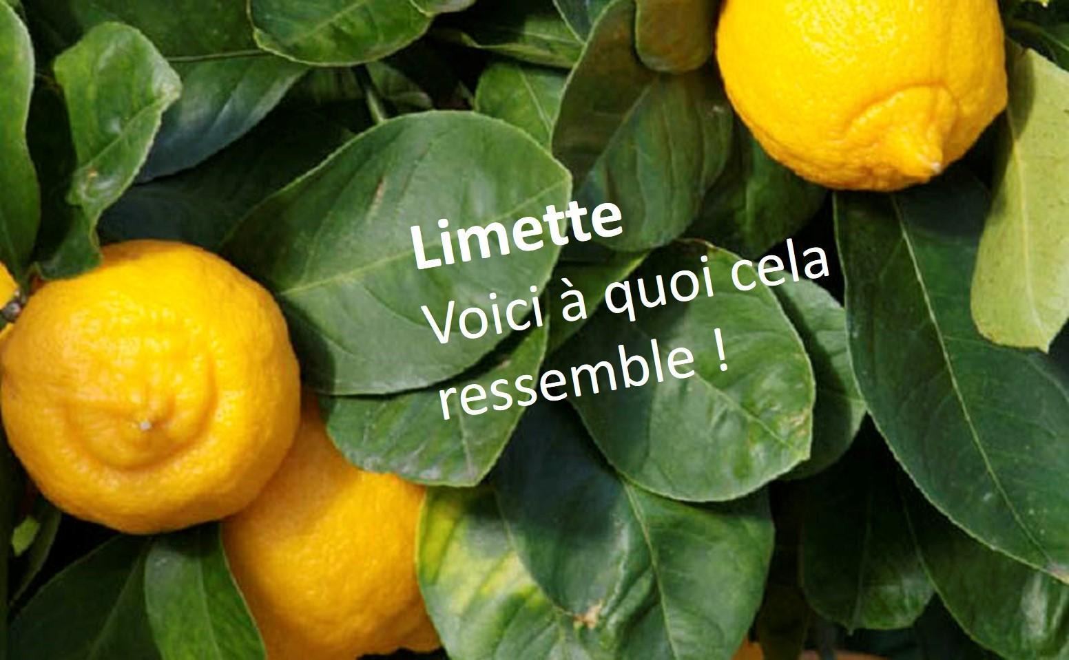 Limette2