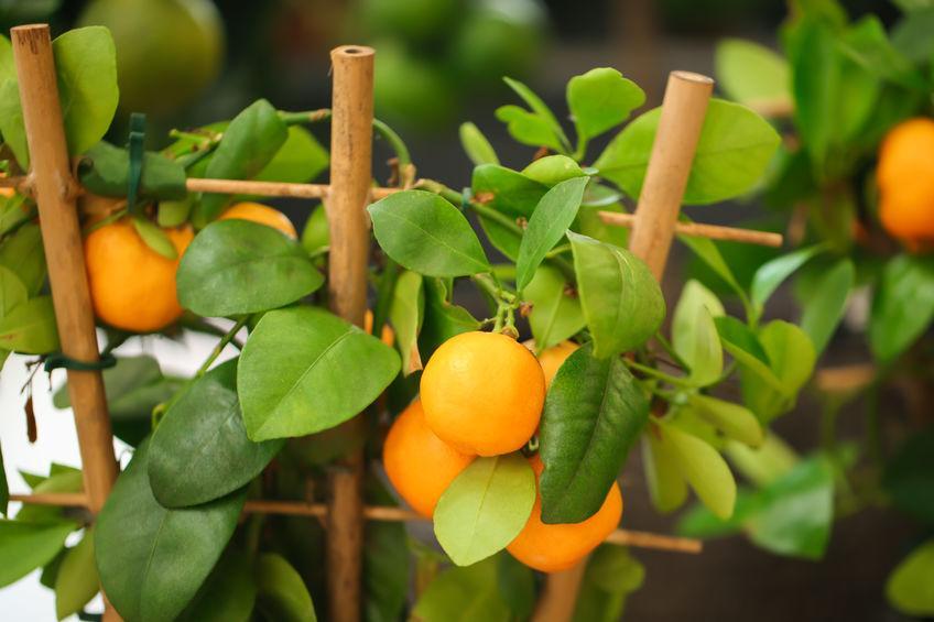 calamondin décoratif sur un support en bambou