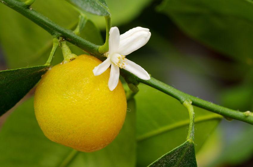calamondin et fleur simultanément sur une branche