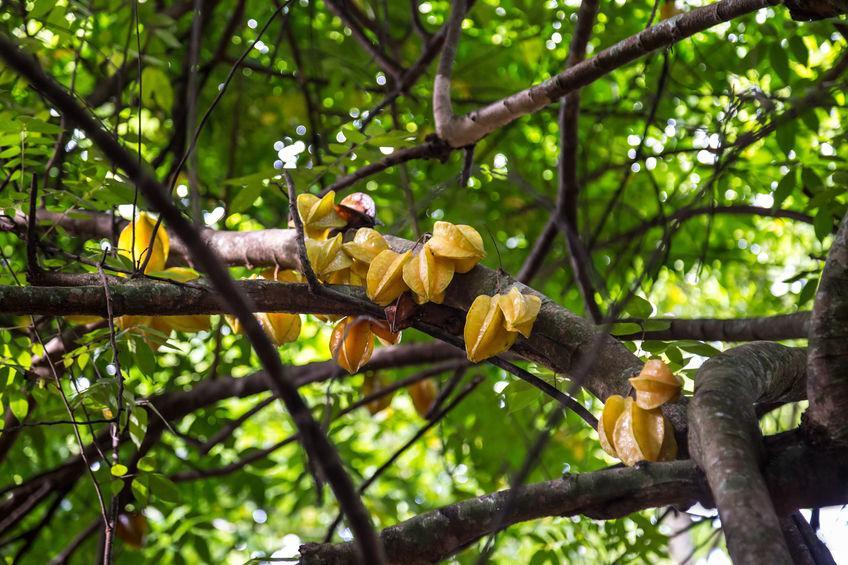 grappes de carambole sur branche de carambolier