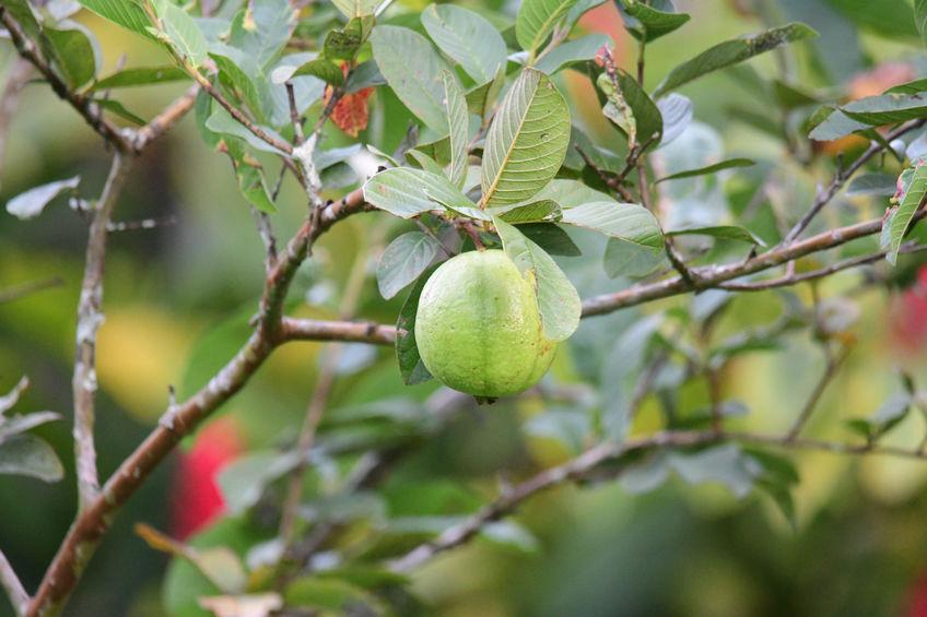 goyave sur branche de goyavier