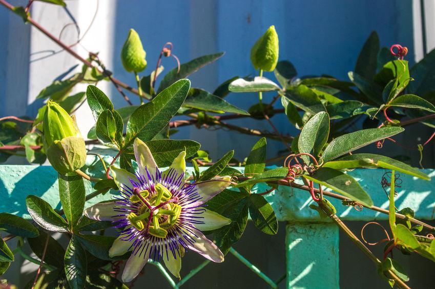 fleur de Passiflora Caerulea sur une barrière