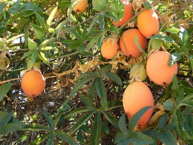 fruits orange passion passiflora caerulea