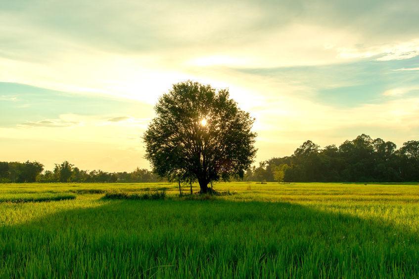 tamarinier dans un champ de riz