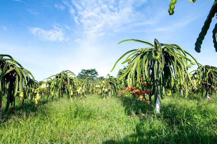 plantation de fruits du dragon
