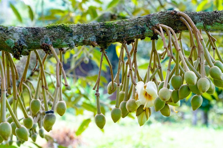 fleur de durian a la forte odeur