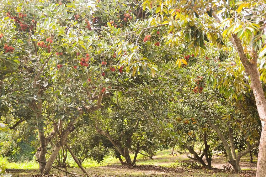 verger de ramboutan culture fruit exotique