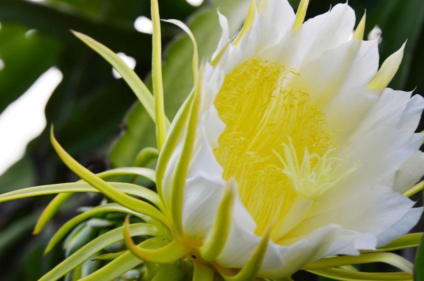 fleur blanche de fruit du dragon