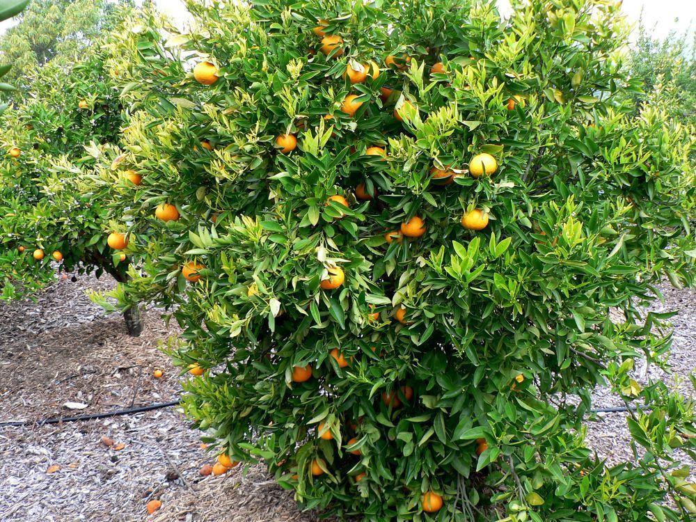 arbre du tangor cultivé