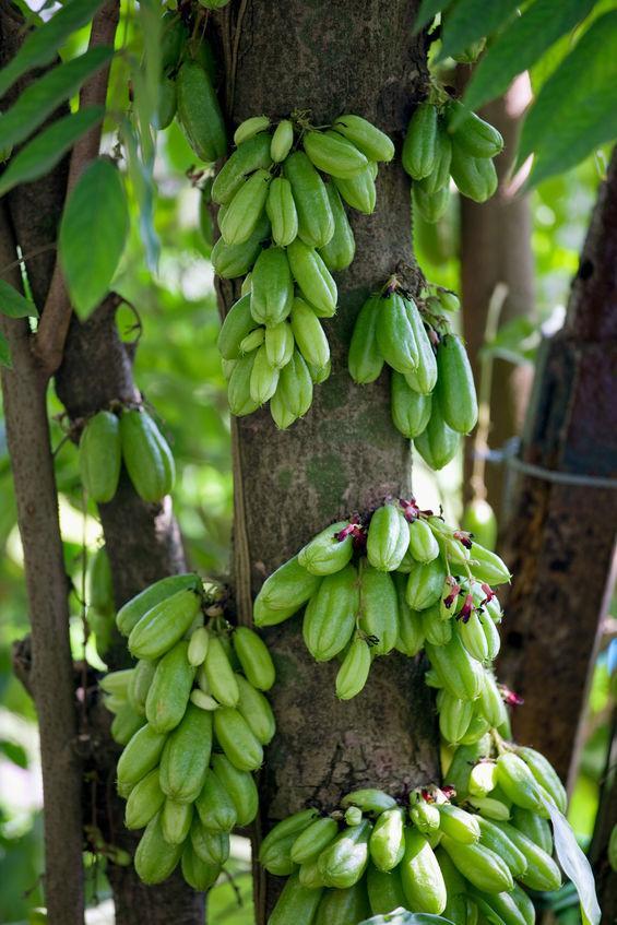 grappes de bilimbi ou concombre d'inde sur l'arbre
