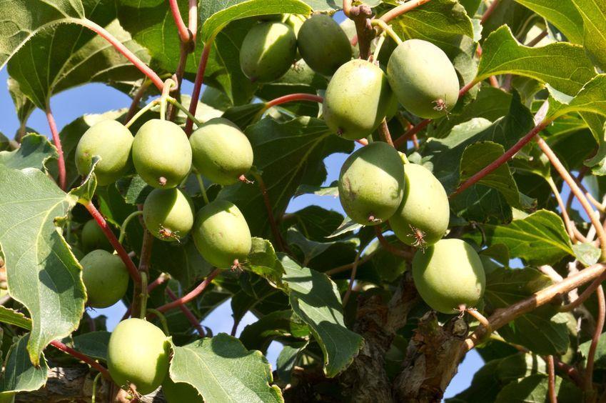 kiwai sur l'arbre à kiwai en grappe