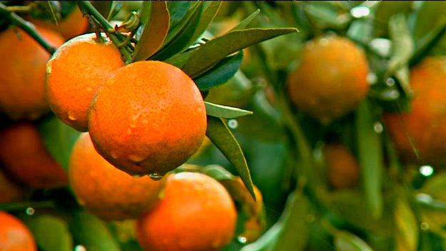 clementines-corse