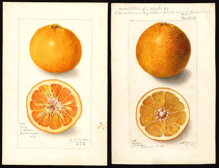 Mandarine, clémentine : les différences en botanique