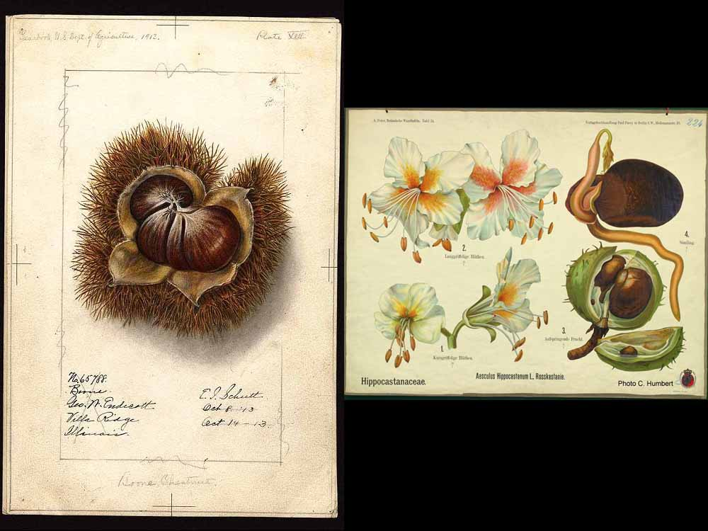 chataignes ou marrons : les différences botaniques