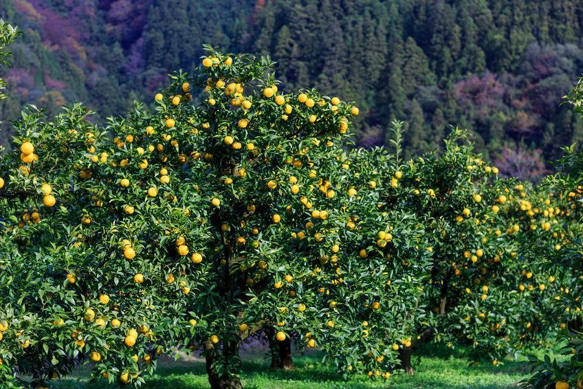 arbres yuzu en culture au japon
