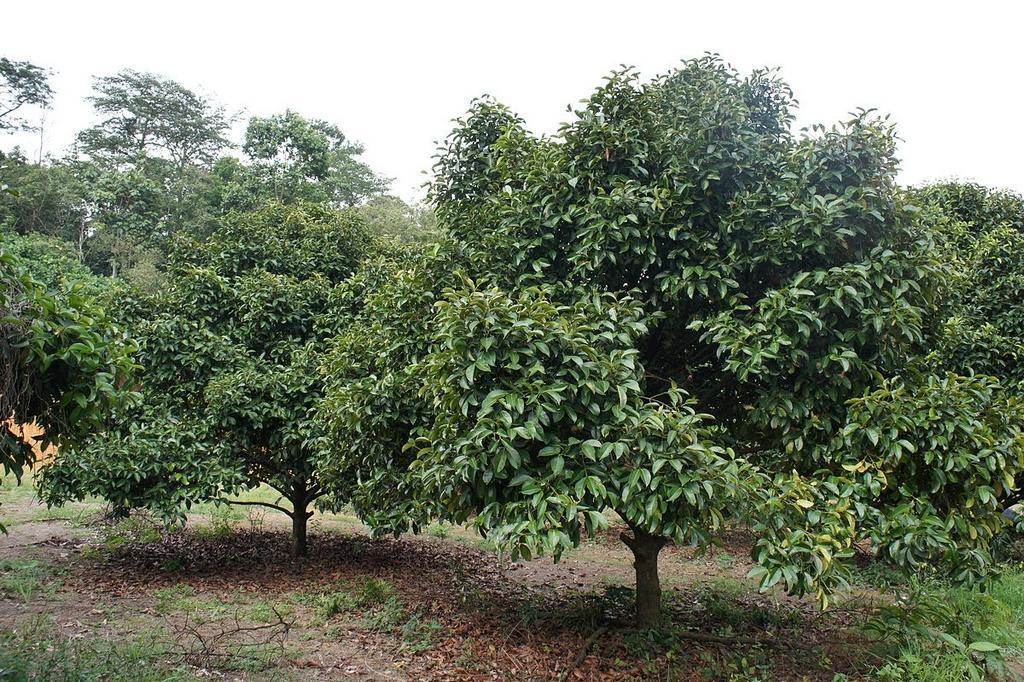 Mangoustanier - l'arbre qui porte le mangoustan