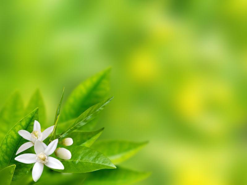 fleur et feuilles de bigaradier parfum de neroli