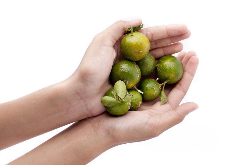 petits agrumes calamondin dans la main