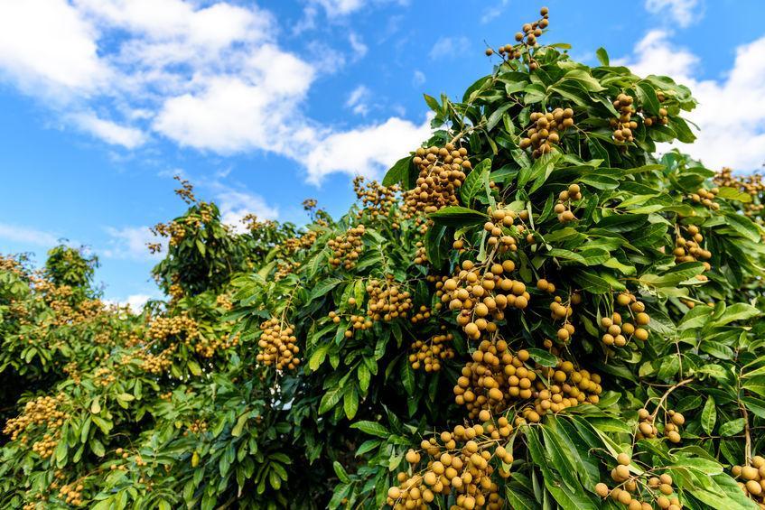 magnifique arbre exotique , le longanier