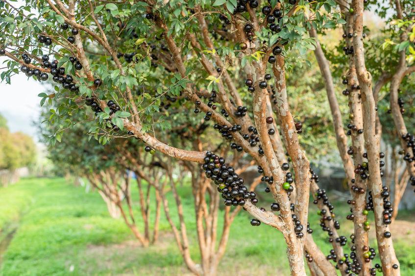 jaboticaba - arbre et fruits