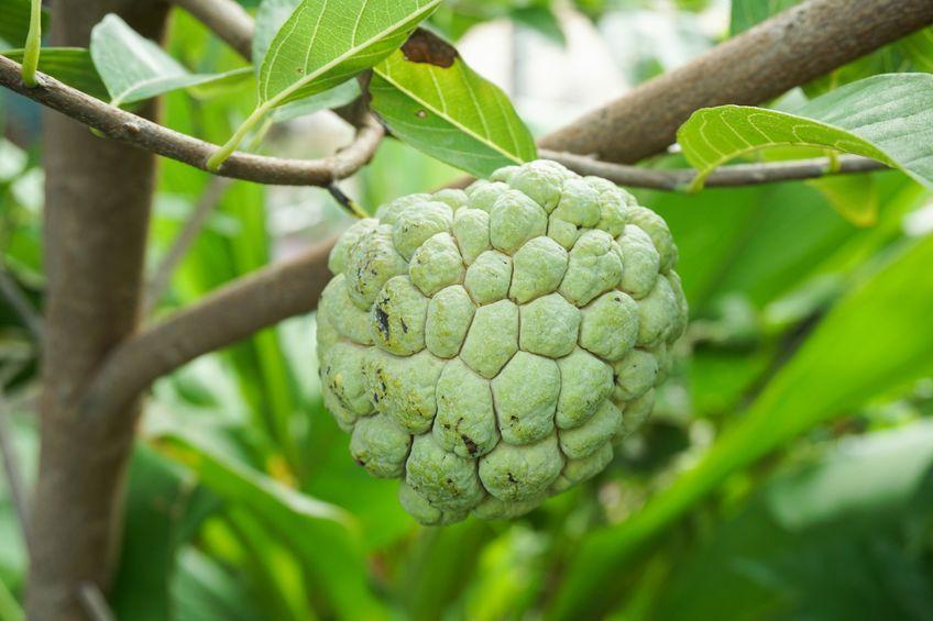 Zatte (ou pomme cannelle) - le fruit de l'attier