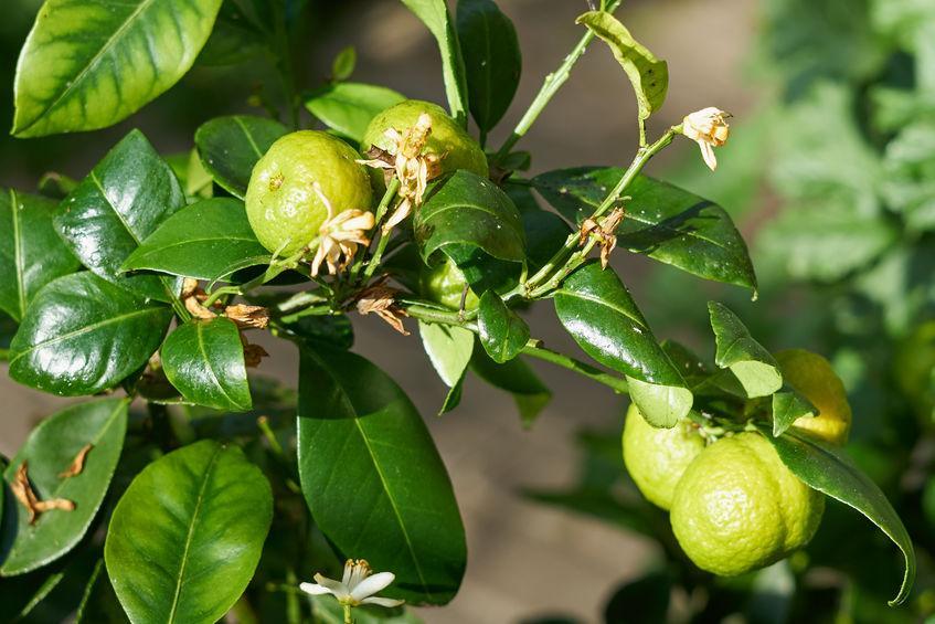 fleur feuille et fruit bergamote