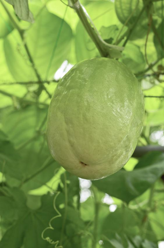 Giant granadilla or Passiflora quadrangularis L