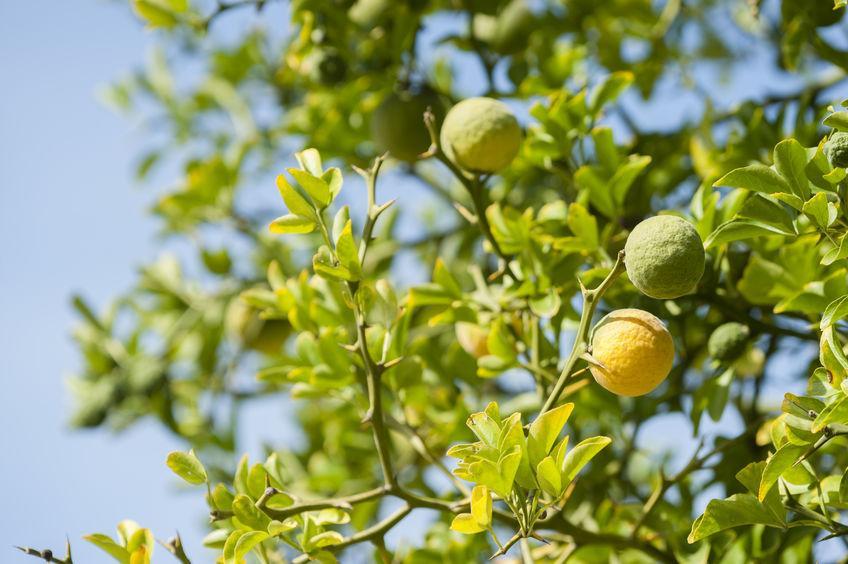 bergamotes murs sur un arbre