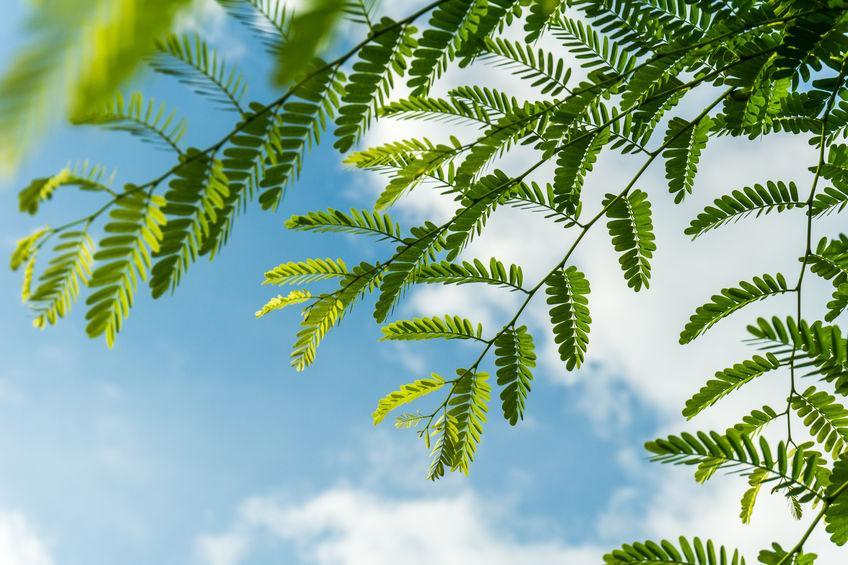 feuilles de tamarinier devant ciel bleu