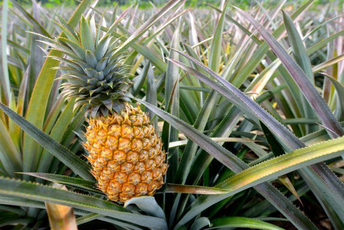 Ananas (fruit) : guide complet