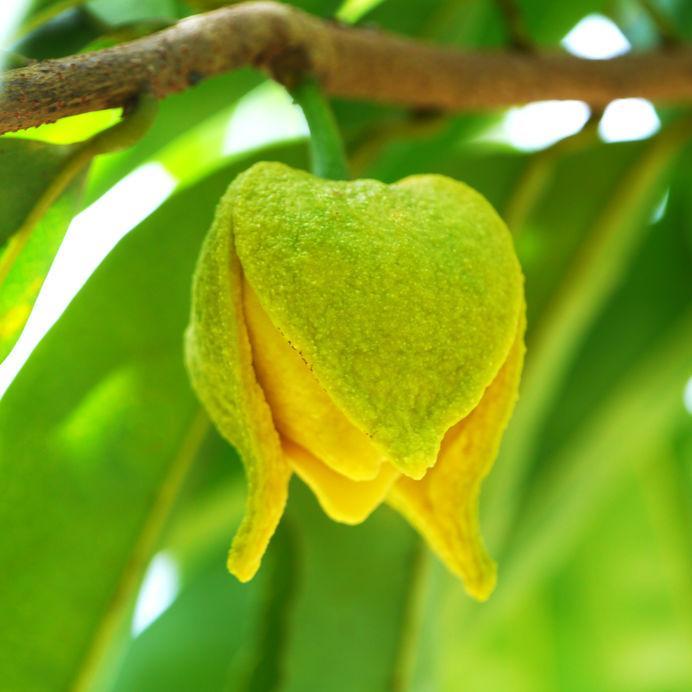 fleur de corossol sur branche de corossolier