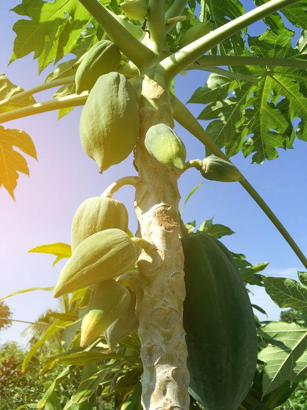papayer avec papayes poussant sur le tronc