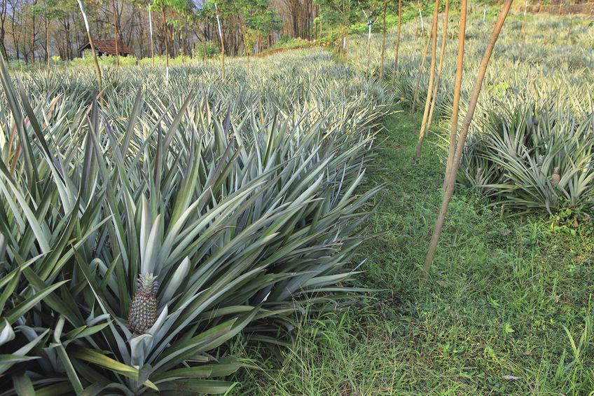 plantation d'ananas, fruit exotique qui pousse sur une plante herbacée
