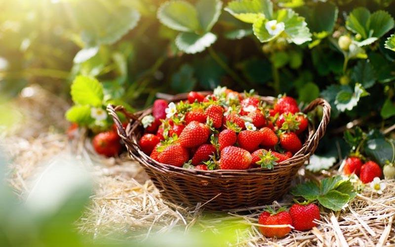 Fraise : fruit ou légume ?