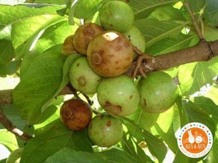 Vavangue : fruit et feuille